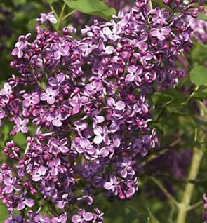 Edelflieder Pocahonthas - Kircher-Collection 60-80cm - Syringa hyacinthiflora - Vorschau