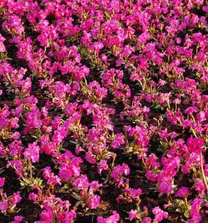 Rosen Primel Rosy - Primula rosea - Vorschau