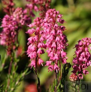 10x Siebenbürgerheide Branka - Erica spiculifolia - Vorschau
