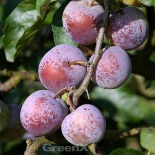 Pflaume Graf Althans Ringlotte 60-80cm - Prunus domestica - Vorschau