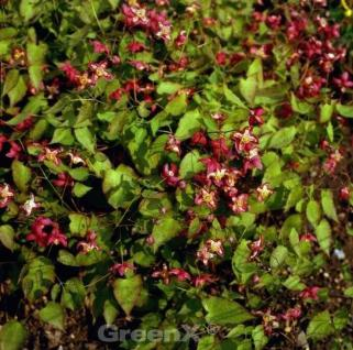 Elfenblume Galadriel - Epimedium rubrum - Vorschau