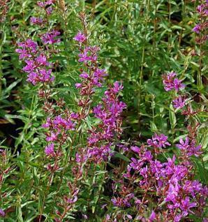 Rutenweiderich Dropmore Purple - Lythrum virgatum - Vorschau