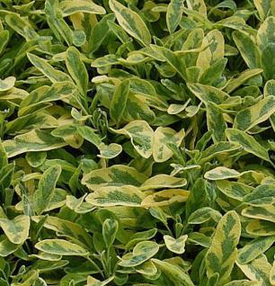 Echter Salbei Icterina - Salvia officinalis - Vorschau