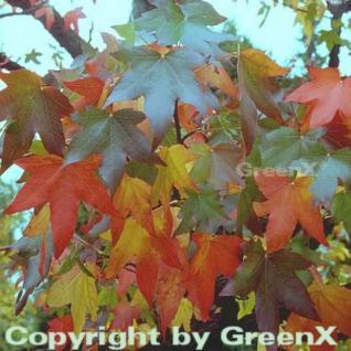 Amerikanischer Amberbaum 80-100cm - Liquidambar styraciflua - Vorschau