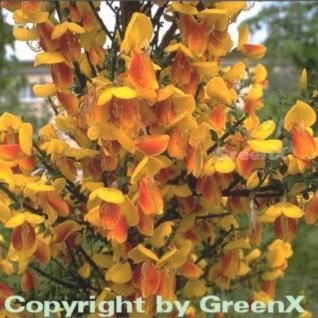 Schmuckginster Firefly 60-80cm - Cytisus scoparius - Vorschau