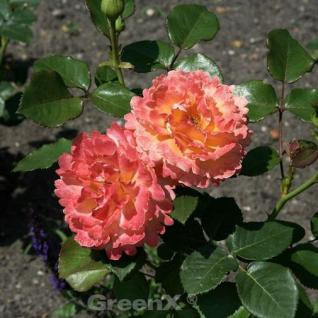 Floribundarose Easy does it® 30-60cm - Vorschau