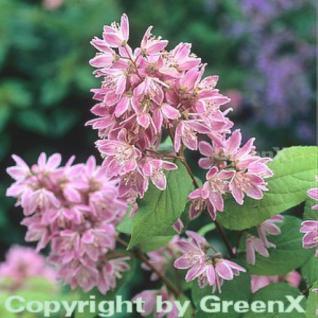Rosendeutzie Strawberry Field 100-125cm - Deutzia hybrida - Vorschau
