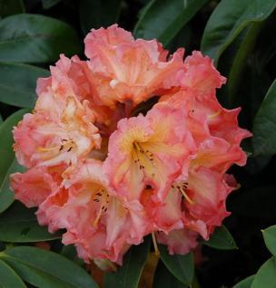 Großblumige Rhododendron Sun Fire 40-50cm - Alpenrose - Vorschau