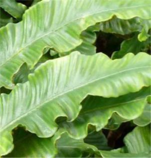 Hirschzungenfarn - Phyllitis scolopendrium - Vorschau