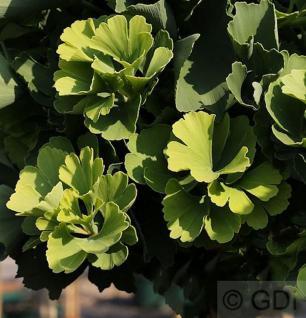 Fächerblattbaum Tubifolia 80-100cm - Ginkgo biloba - Vorschau