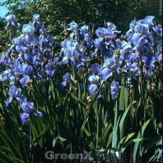 Schwertlilie Blue Rhythm - Iris barbata - Vorschau