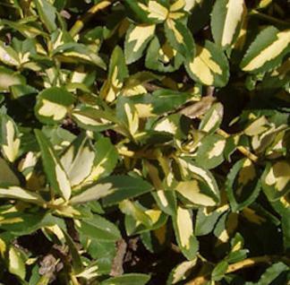 10x Goldbunte Kriechspindel Sunspot 10-15cm - Euonymus fortunei - Vorschau
