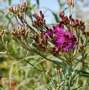 Büschelige Arkansas Scheinaster - Vernonia fasciculata - Vorschau