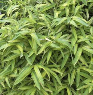 Buschbambus - Pleioblastus chino - Vorschau