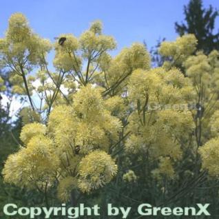 Gelbe Wiesenraute - Thalictrum flavum - Vorschau