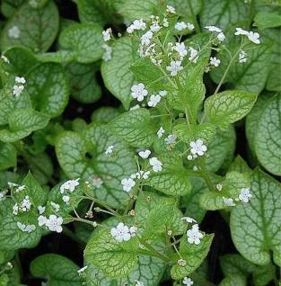 Kaukasus Vergißmeinnicht Mr Morse - Brunnera macrophylla - Vorschau