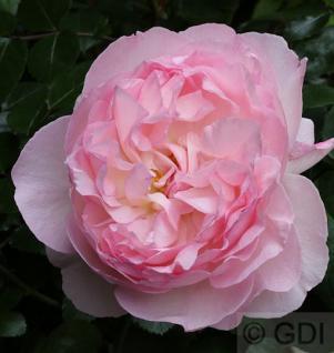Englische Rose Sharifa Asma 30-60cm - Vorschau