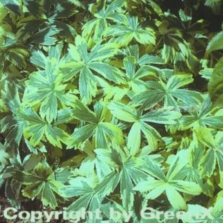 Sterndolde Sunningdale Variegata - Astrantia major - Vorschau