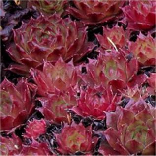 Dachwurz Red Delta - Sempervivum cultorum - Vorschau