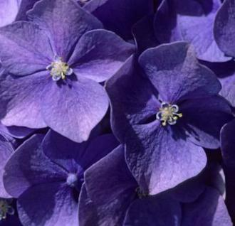 Bauernhortensie Early Blue 40-60cm - Hydrangea macrophylla - Vorschau