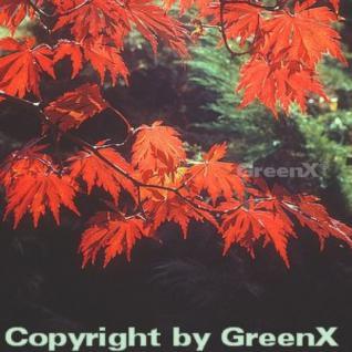 Japanischer Feuerahorn 80-100cm - Acer japonica Aconitifolium - Vorschau