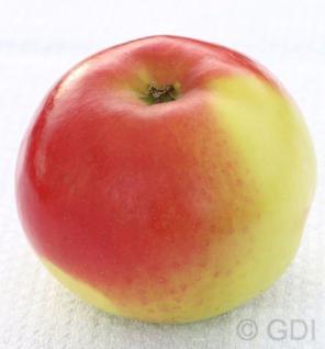 Apfelbaum Franksen Apfel 60-80cm - ein Herbstapfel - Vorschau