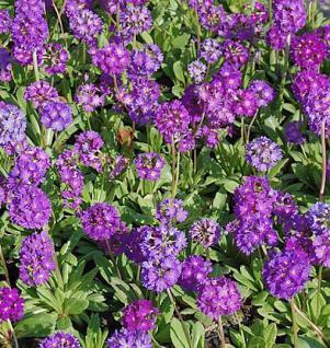 Kugelprimel Corolla Blue - Primula denticulata - Vorschau