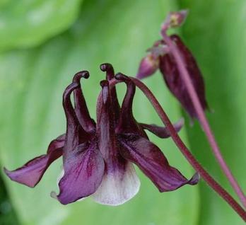 Akelei William Guiness - Aquilegia vulgaris - Vorschau