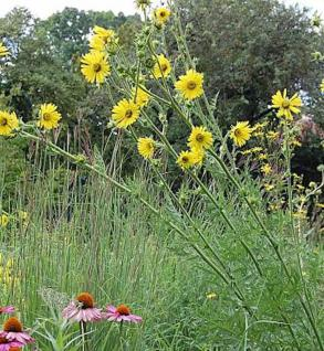Kompasspflanze - Silphium laciniatum - Vorschau