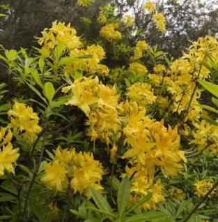 Azalee Anneke 30-40cm - Rhododendron luteum - Alpenrose - Vorschau