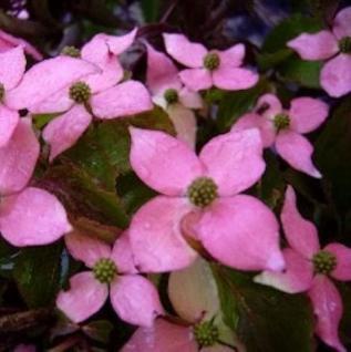 Japanischer Blumen Hartriegel Beni Fuji 100-125cm - Cornus kousa - Vorschau