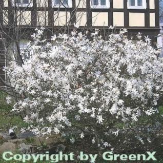 Kleine Sternmagnolie 80-100cm - Magnolia stellata - Vorschau