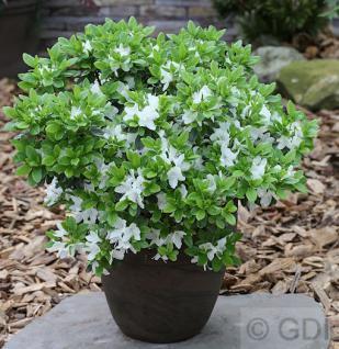 Japanische Azalee Luzi 20-25cm - Rhododendron obtusum - Zwerg Alpenrose - Vorschau