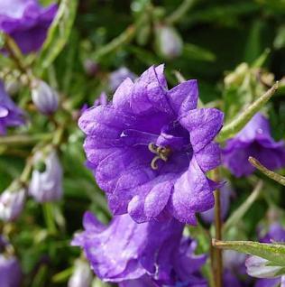 Nesselglockenblume Bernice - Campanula trachelium - Vorschau