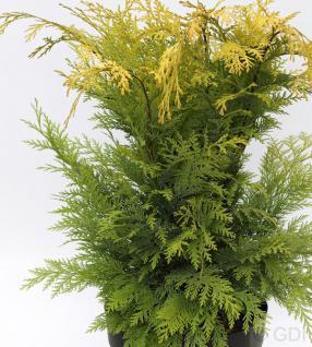 Gelbe Gartenzypresse Stardust 80-100cm - Chamaecyparis lawsoniana - Vorschau