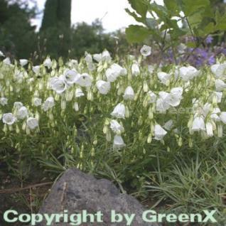 Zwergglockenblume Alba - Campanula cochleariifoli - Vorschau