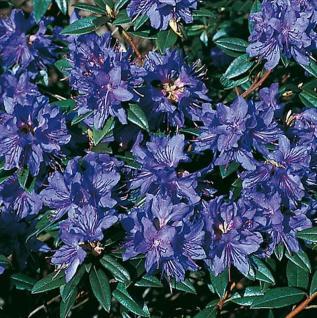 Zwerg Rhododendron Gletschernacht 25-30cm - Rhododendron russatum - Zwerg Alpenrose - Vorschau