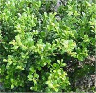 Bonsai Japanische Stechpalme Ilex Glorie Gem 60-80cm - Ilex crenata - Vorschau