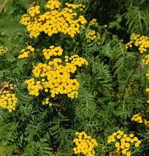 Wurmkraut - Tanacetum vulgare - Vorschau