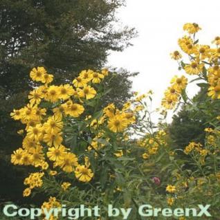 Sonnenbraut Kanaria - Helenium cultorum - Vorschau