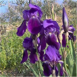 Borsten Iris - Iris setosa - Vorschau