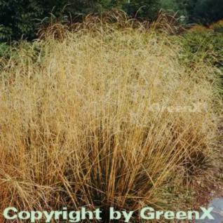 Rasen Schmiele - Deschampsia cespitosa - Vorschau
