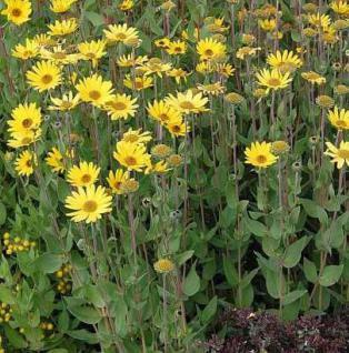 Stauden Sonnenblume - Helianthus atrorubens - Vorschau