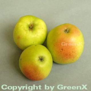 Apfelbaum Grahams Jubiläum 60-80cm - süßsäuerlich - Vorschau