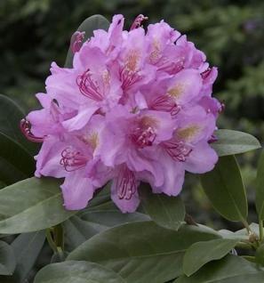 Großblumige Rhododendron Pink Purple Dream 40-50cm - Alpenrose - Vorschau