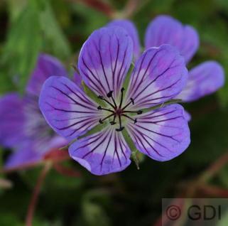 Storchenschnabel Sweet Heidy - Geranium cultorum - Vorschau
