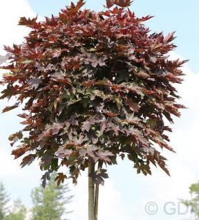 Hochstamm Säulen Blut Ahorn 80-100cm - Acer platanoides - Vorschau