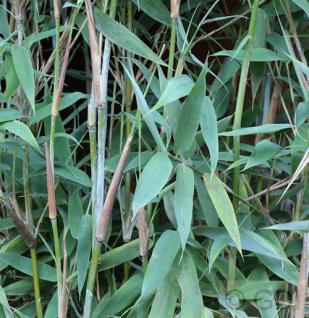 Gartenbambus Fresena® 80-100cm - Fargesia murielae - Vorschau