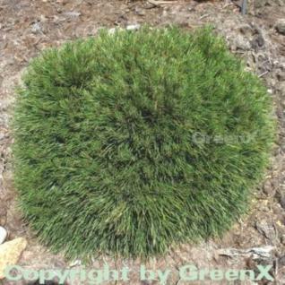 Kompakte Kugelkiefer Varella 25-30cm - Pinus mugo - Vorschau