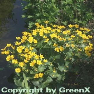 Sumpfdotterblume - Caltha palustris - Vorschau